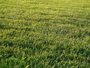 Как самостоятельно посадить газон